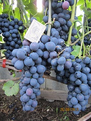 700 X 933 290.4 Kb Саженцы винограда. Продам.