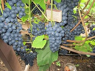 700 X 525 192.0 Kb 700 X 933 290.4 Kb Саженцы винограда. Продам.