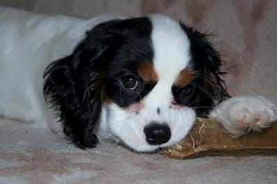 1920 X 1275 400.4 Kb 1920 X 1275 436.6 Kb Кавалер-кинг-чарльз-спаниель. Собака, создающая комфорт. Питомник Auroconcurr.