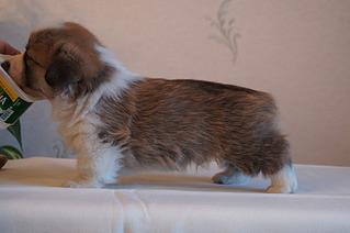 1920 X 1275 430.5 Kb Веточка для Коржиков. У нас родились абиссинские котята и щенки пемброка