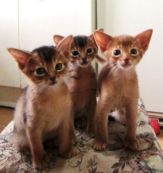 1106 X 1174 249.9 Kb 1140 X 1206 260.6 Kb Веточка для Коржиков. У нас родились абиссинские котята и щенки пемброка