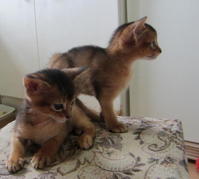 1248 X 1123 237.4 Kb Веточка для Коржиков. У нас родились абиссинские котята и щенки пемброка