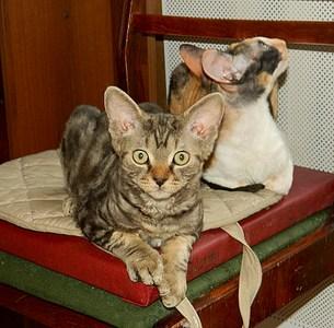 1920 X 1888 895.2 Kb Девон рекс - эльфы в мире кошек - у нас есть котята