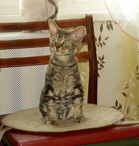 1920 X 2010 506.8 Kb 1920 X 1888 895.2 Kb Девон рекс - эльфы в мире кошек - у нас есть котята