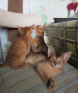 1333 X 1601 403.0 Kb 1085 X 1391 276.6 Kb Веточка для Коржиков. У нас родились абиссинские котята и щенки пемброка