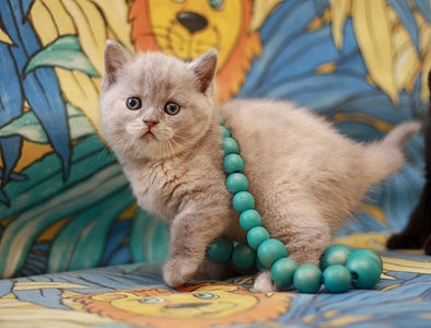 631 X 480 145.4 Kb Питомник британских кошек Cherry Berry's