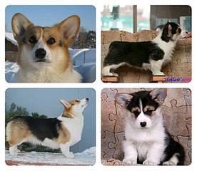 720 X 626  58.5 Kb Веточка для Коржиков. У нас родились абиссинские котята и щенки пемброка