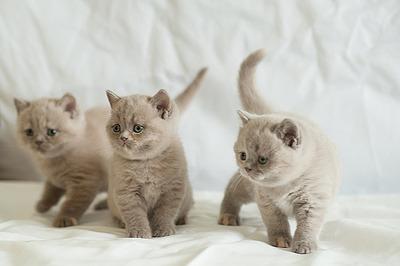 1200 X 798 631.0 Kb Питомник британских кошек Cherry Berry's