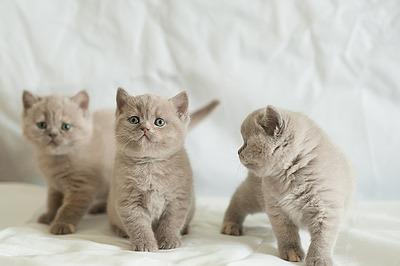 1200 X 798 654.1 Kb 1200 X 798 631.0 Kb Питомник британских кошек Cherry Berry's