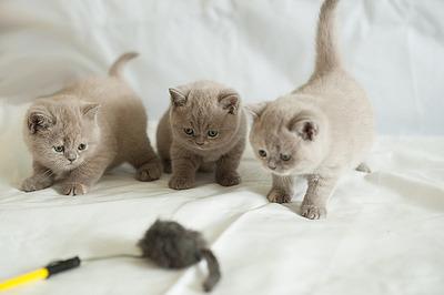 1200 X 798 582.2 Kb Питомник британских кошек Cherry Berry's