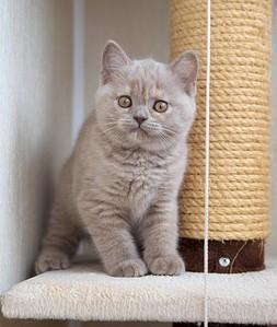 1920 X 2269 790.0 Kb Питомник британских кошек Cherry Berry's