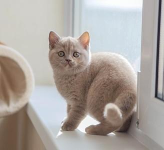 1920 X 1754 371.0 Kb Питомник британских кошек Cherry Berry's