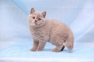 1920 X 1280 342.2 Kb Питомник британских кошек Cherry Berry's