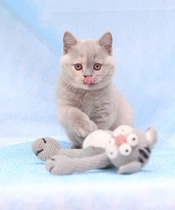 1920 X 2304 435.7 Kb 1920 X 2427 534.9 Kb 1920 X 1280 342.2 Kb Питомник британских кошек Cherry Berry's