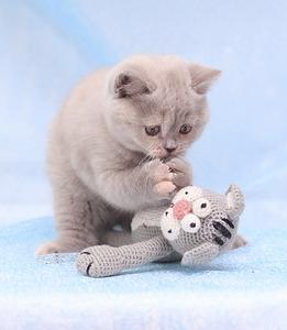 1920 X 2204 503.2 Kb Питомник британских кошек Cherry Berry's