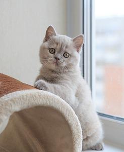 1920 X 2339 475.4 Kb Питомник британских кошек Cherry Berry's