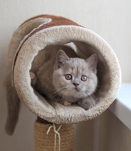 1920 X 2217 695.9 Kb 1920 X 2339 475.4 Kb Питомник британских кошек Cherry Berry's