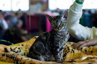 319 x 213 1024 X 683 591.6 Kb Девон рекс - эльфы в мире кошек - у нас есть котята