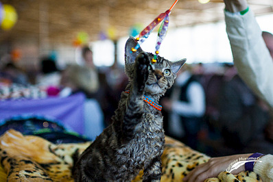1024 X 683 591.6 Kb Девон рекс - эльфы в мире кошек - у нас есть котята