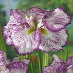 150 x 150 Тюльпаны, нарциссы, ирисы, крокусы - все весенние луковичные
