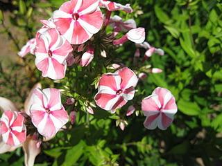 1600 X 1200 214.9 Kb 1600 X 1200 166.8 Kb Продам саженцы красивых многолетних цветов от 50 руб
