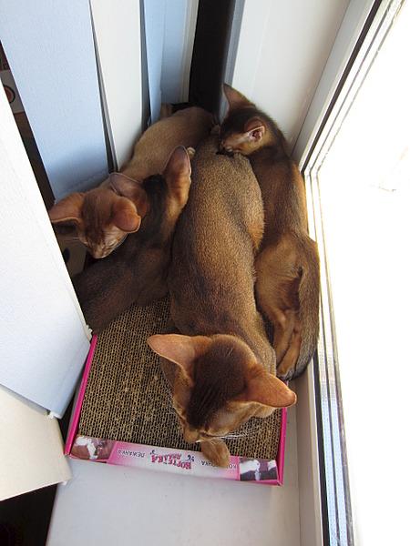 1920 X 2560 359.6 Kb Веточка для Коржиков. У нас родились абиссинские котята и щенки пемброка