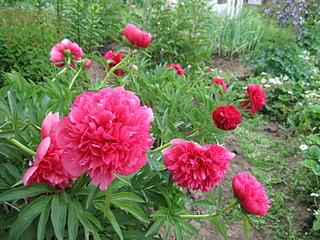 1600 X 1200 327.9 Kb Продам саженцы красивых многолетних цветов от 50 руб