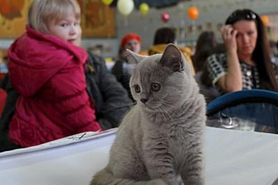 800 X 533 156.4 Kb Питомник британских кошек Cherry Berry's