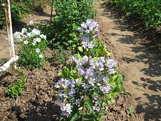 1600 X 1200 446.9 Kb Продам саженцы красивых многолетних цветов от 50 руб