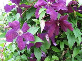 1920 X 1440 706.3 Kb 1600 X 1200 446.9 Kb Продам саженцы красивых многолетних цветов от 50 руб