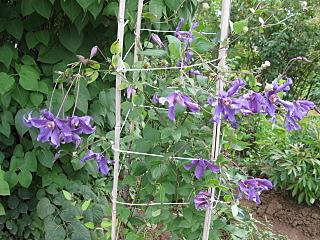640 X 480 264.1 Kb Продам саженцы красивых многолетних цветов от 50 руб
