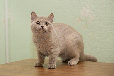1920 X 1280 204.3 Kb Питомник британских кошек Cherry Berry's