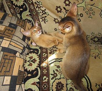 1920 X 1712 445.1 Kb Веточка для Коржиков. У нас родились абиссинские котята и щенки пемброка