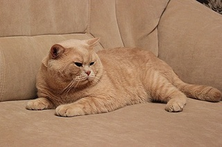 519 X 346 69.5 Kb 319 x 213 319 x 213 319 x 213 Британцы Ричард - Чемпион Мира WCF и Лекси Международный чемпион. У нас есть котятки.