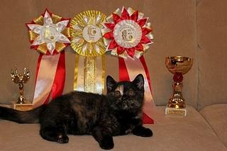 519 X 346 73.9 Kb 519 X 346 85.5 Kb 519 X 346 48.3 Kb Британцы Ричард - Чемпион Мира WCF и Лекси Международный чемпион. У нас есть котятки.