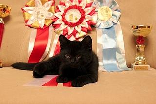 519 X 346 73.0 Kb 519 X 346 72.7 Kb 519 X 346 73.9 Kb 519 X 346 85.5 Kb 519 X 346 48.3 Kb Британцы Ричард - Чемпион Мира WCF и Лекси Международный чемпион. У нас есть котятки.