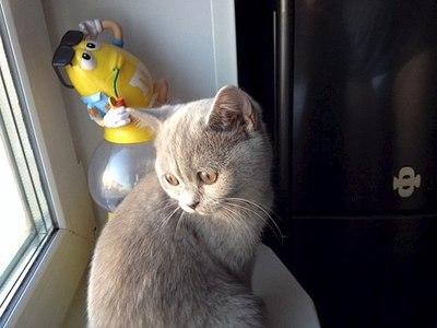 604 X 453 39.6 Kb 453 X 604 65.5 Kb Питомник британских кошек Cherry Berry's