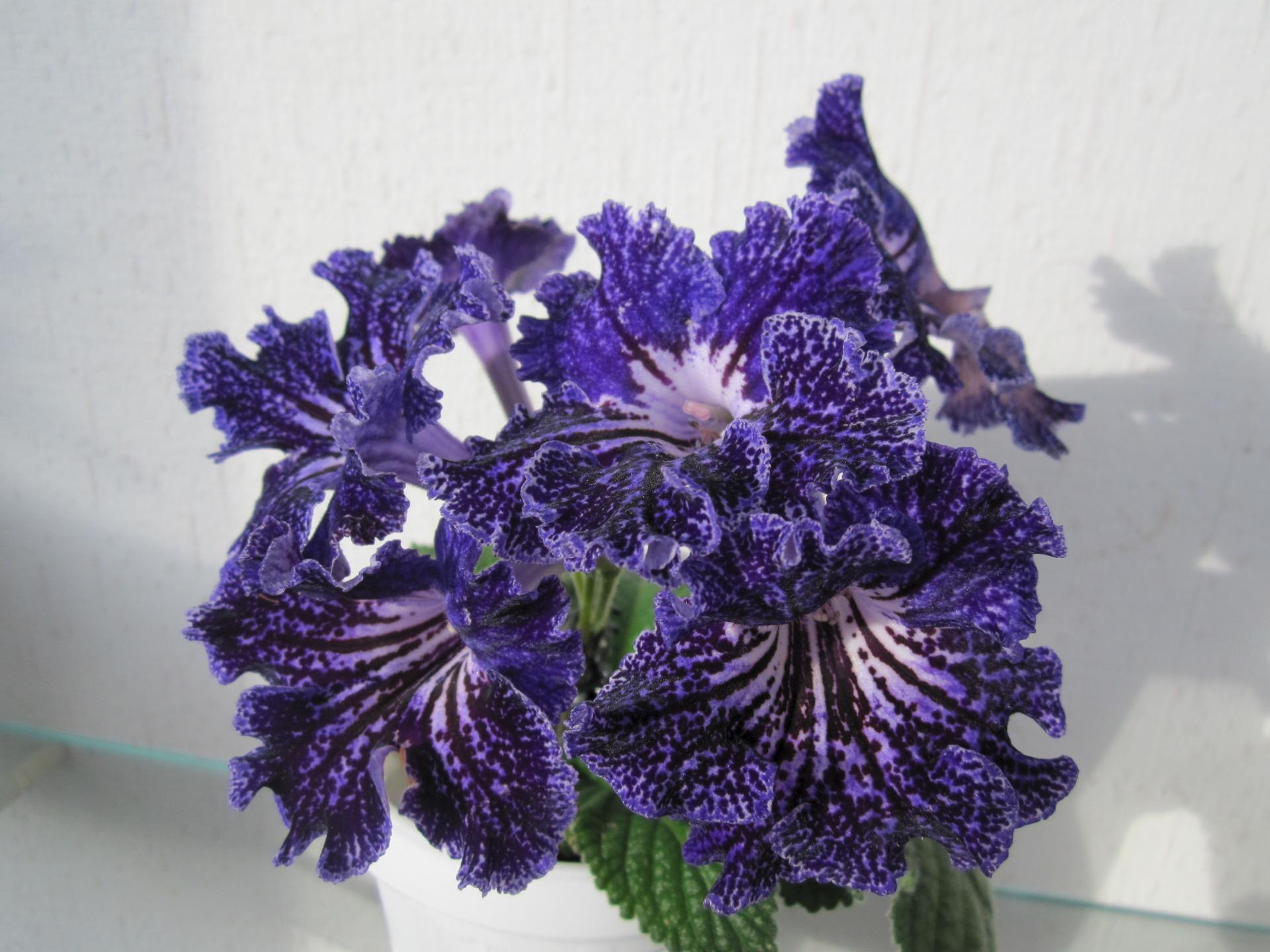 цветок стрептокарпус фото