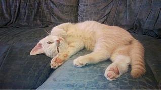 960 X 539 188.1 Kb Британцы Ричард - Чемпион Мира WCF и Лекси Международный чемпион. У нас есть котятки.