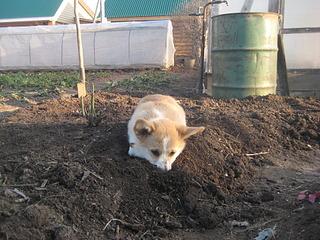 1920 X 1440 948.5 Kb Веточка для Коржиков. У нас родились абиссинские котята и щенки пемброка