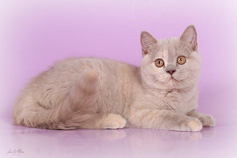 1600 X 1067 175.8 Kb Питомник британских кошек Cherry Berry's