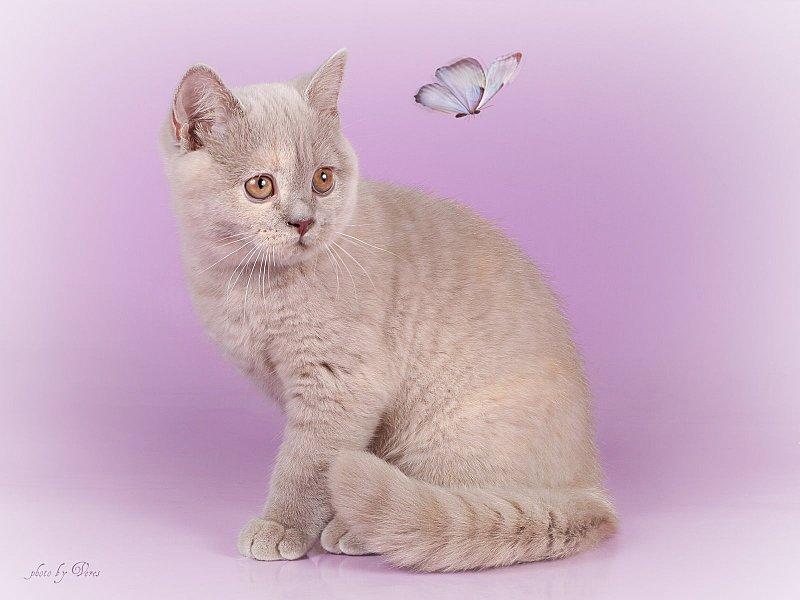 1600 X 1200 183.2 Kb 1600 X 1067 175.8 Kb Питомник британских кошек Cherry Berry's
