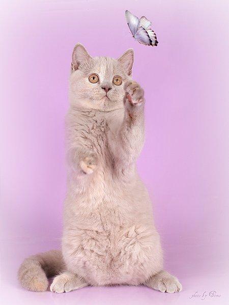 1201 X 1600 182.3 Kb 1600 X 1200 183.2 Kb 1600 X 1067 175.8 Kb Питомник британских кошек Cherry Berry's