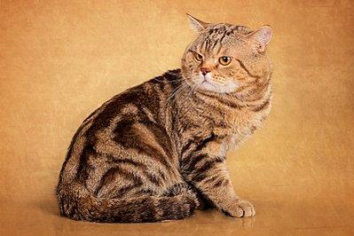 1600 X 1067 318.5 Kb 1600 X 1067 315.0 Kb Питомник британских кошек Cherry Berrys