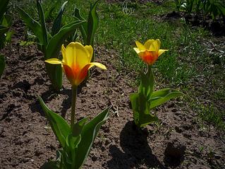 979 X 734 521.7 Kb Тюльпаны, нарциссы, ирисы, крокусы - все весенние луковичные