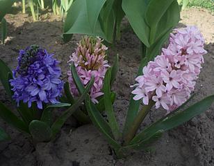 711 X 554 280.7 Kb 979 X 734 521.7 Kb Тюльпаны, нарциссы, ирисы, крокусы - все весенние луковичные