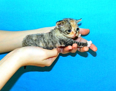 1847 X 1463 562.7 Kb Девон рекс - эльфы в мире кошек - у нас есть котята