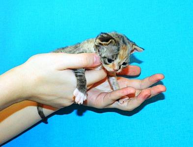 1920 X 1464 513.7 Kb 1847 X 1463 562.7 Kb Девон рекс - эльфы в мире кошек - у нас есть котята
