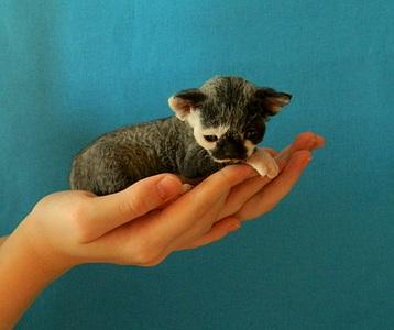 1920 X 1605 643.4 Kb 1920 X 2132 842.8 Kb Девон рекс - эльфы в мире кошек - у нас есть котята