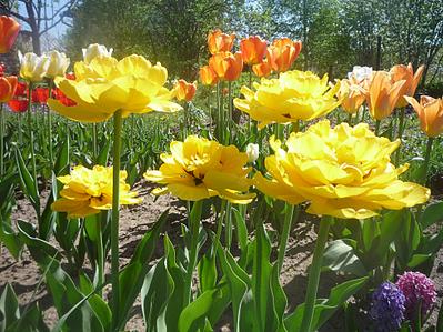979 X 734 525.7 Kb Тюльпаны, нарциссы, ирисы, крокусы - все весенние луковичные